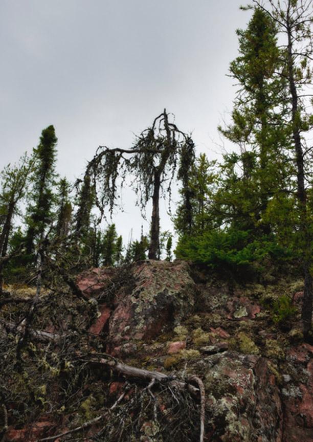 Lichens Carpet the Unraked Forest, Uranium City